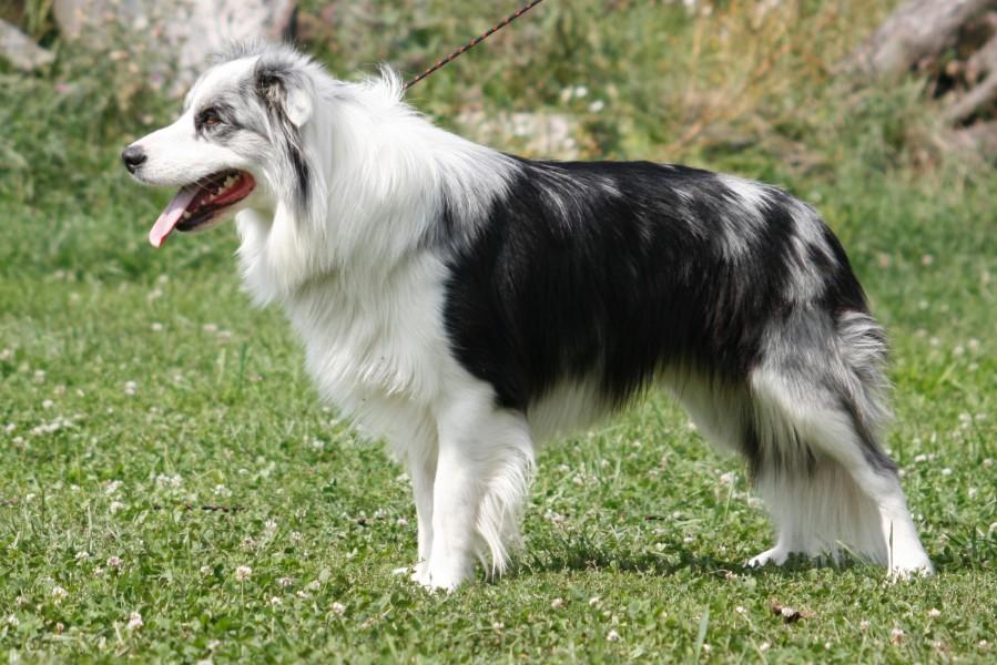 border kolie; chovný pes, Franco Deabei